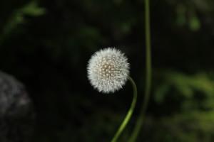 kukkaa