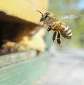 Mehiläinen vihollisesta ystäväksi